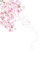 桜 10170000126| 写真素材・ストックフォト・画像・イラスト素材|アマナイメージズ