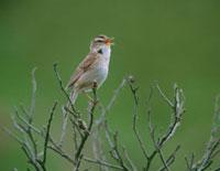 鳴く野鳥 コヨシキリ