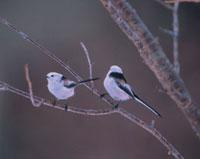 枝に止まる2羽の野鳥 エナガ