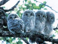 枝にとまるエゾフクロウの子供たち