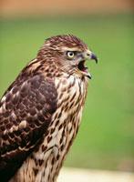オオタカの若鳥