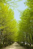 新緑のイチョウ並木