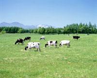 牛と山 10172000479| 写真素材・ストックフォト・画像・イラスト素材|アマナイメージズ