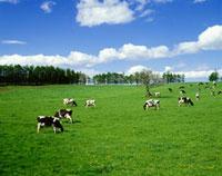 草原と牛 10172000651| 写真素材・ストックフォト・画像・イラスト素材|アマナイメージズ