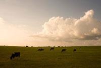 夕暮れの大地と牛と雲