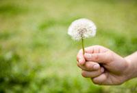 タンポポの綿毛を持つ子供の手 10172001458| 写真素材・ストックフォト・画像・イラスト素材|アマナイメージズ