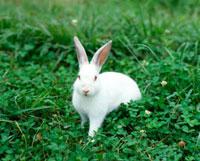 ウサギ 10173003036| 写真素材・ストックフォト・画像・イラスト素材|アマナイメージズ