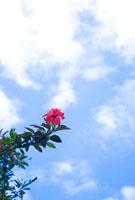 ハイビスカスと青い空