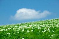 丘に咲くジャガイモの花と雲 10179004553| 写真素材・ストックフォト・画像・イラスト素材|アマナイメージズ