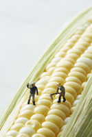 トウモロコシの上で働く生産者たち