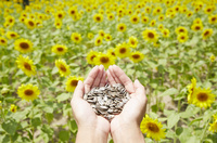 ヒマワリ畑で種を持つ女性の手