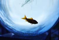 金魚鉢の中で泳ぐ金魚と藻