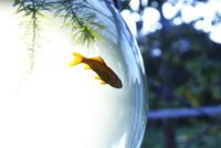 金魚鉢の中で泳ぐ金魚と藻 10179009721| 写真素材・ストックフォト・画像・イラスト素材|アマナイメージズ