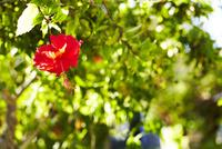 太陽の光に照らされて輝くハイビスカス