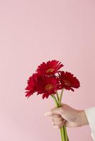 ピンクの壁前で赤いガーベラを持つ女性の手 10179010863| 写真素材・ストックフォト・画像・イラスト素材|アマナイメージズ