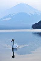 山中湖を泳ぐ白鳥と富士山