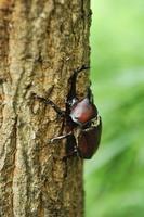 クヌギの樹液を吸うカブトムシ 10182000810| 写真素材・ストックフォト・画像・イラスト素材|アマナイメージズ