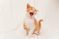 子猫 10186001609  写真素材・ストックフォト・画像・イラスト素材 アマナイメージズ