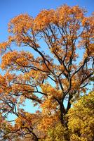 クヌギの紅葉 10189002663| 写真素材・ストックフォト・画像・イラスト素材|アマナイメージズ