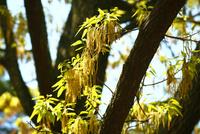 クヌギの花 10189004137| 写真素材・ストックフォト・画像・イラスト素材|アマナイメージズ
