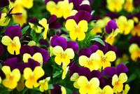 黄色と紫色のビオラ