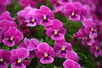 赤紫色のビオラ