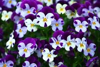 白と紫色のビオラ