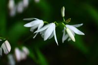 シラン,白い花