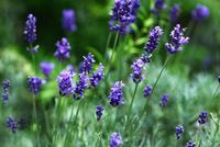 ハーブのラベンダー・ヒッドコートの花