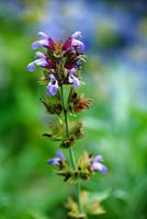 ハーブのスカルキャップの花