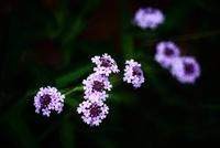 バーベナ・ボナリエンシスの花 10189006280| 写真素材・ストックフォト・画像・イラスト素材|アマナイメージズ