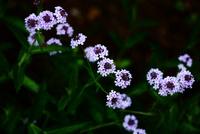 バーベナ・ボナリエンシスの花 10189006312| 写真素材・ストックフォト・画像・イラスト素材|アマナイメージズ