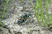 ハンミョウ(甲虫)の交尾 10194004665| 写真素材・ストックフォト・画像・イラスト素材|アマナイメージズ
