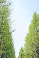 イチョウの新緑 10206001487| 写真素材・ストックフォト・画像・イラスト素材|アマナイメージズ