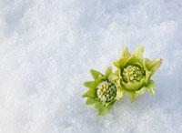 雪の上から芽を出すふきのとう