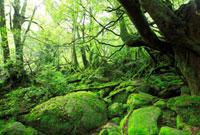 苔に覆われたもののけの森 10210000034| 写真素材・ストックフォト・画像・イラスト素材|アマナイメージズ