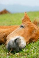 昼寝をするミサキウマの赤ちゃん 10210000050| 写真素材・ストックフォト・画像・イラスト素材|アマナイメージズ