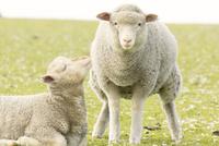 くつろぐ羊の親子