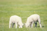 草を食べるヒツジの子ども