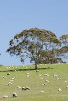 牧場に広がるヒツジたち