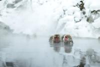 仲良しが寄り添って温泉に入るニホンザル 10210000423| 写真素材・ストックフォト・画像・イラスト素材|アマナイメージズ