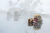 親子で温泉に入るニホンザル 10210000426| 写真素材・ストックフォト・画像・イラスト素材|アマナイメージズ