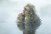 親子で温泉に入るニホンザル。授乳中。 10210000428| 写真素材・ストックフォト・画像・イラスト素材|アマナイメージズ