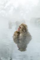 親子で温泉に入るニホンザル。授乳中。 10210000429| 写真素材・ストックフォト・画像・イラスト素材|アマナイメージズ