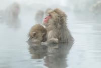 親子で温泉に入るニホンザル。授乳中。 10210000430| 写真素材・ストックフォト・画像・イラスト素材|アマナイメージズ