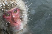 温泉猿のポートレート 10210000431| 写真素材・ストックフォト・画像・イラスト素材|アマナイメージズ