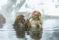 温泉で毛づくろいをするニホンザル