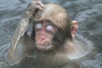 温泉で頭をかく子ザル 10210000443| 写真素材・ストックフォト・画像・イラスト素材|アマナイメージズ