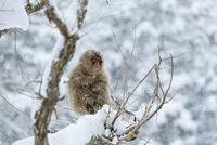 寒さに耐える子ザル 10210000447| 写真素材・ストックフォト・画像・イラスト素材|アマナイメージズ