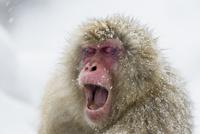 あくびをするオスザル 10210000454| 写真素材・ストックフォト・画像・イラスト素材|アマナイメージズ